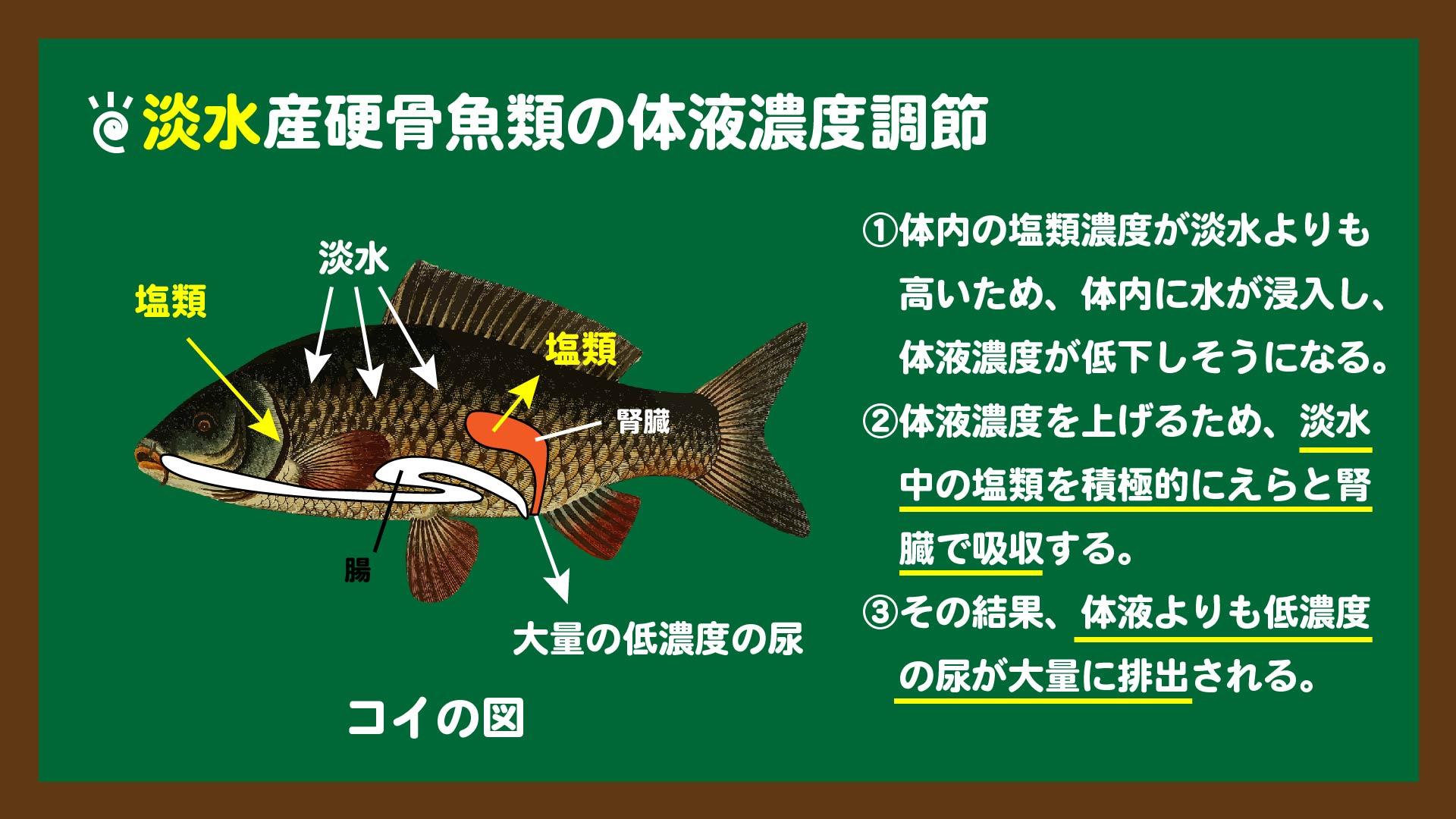 スライド1:淡水魚の体液濃度調節のしくみ