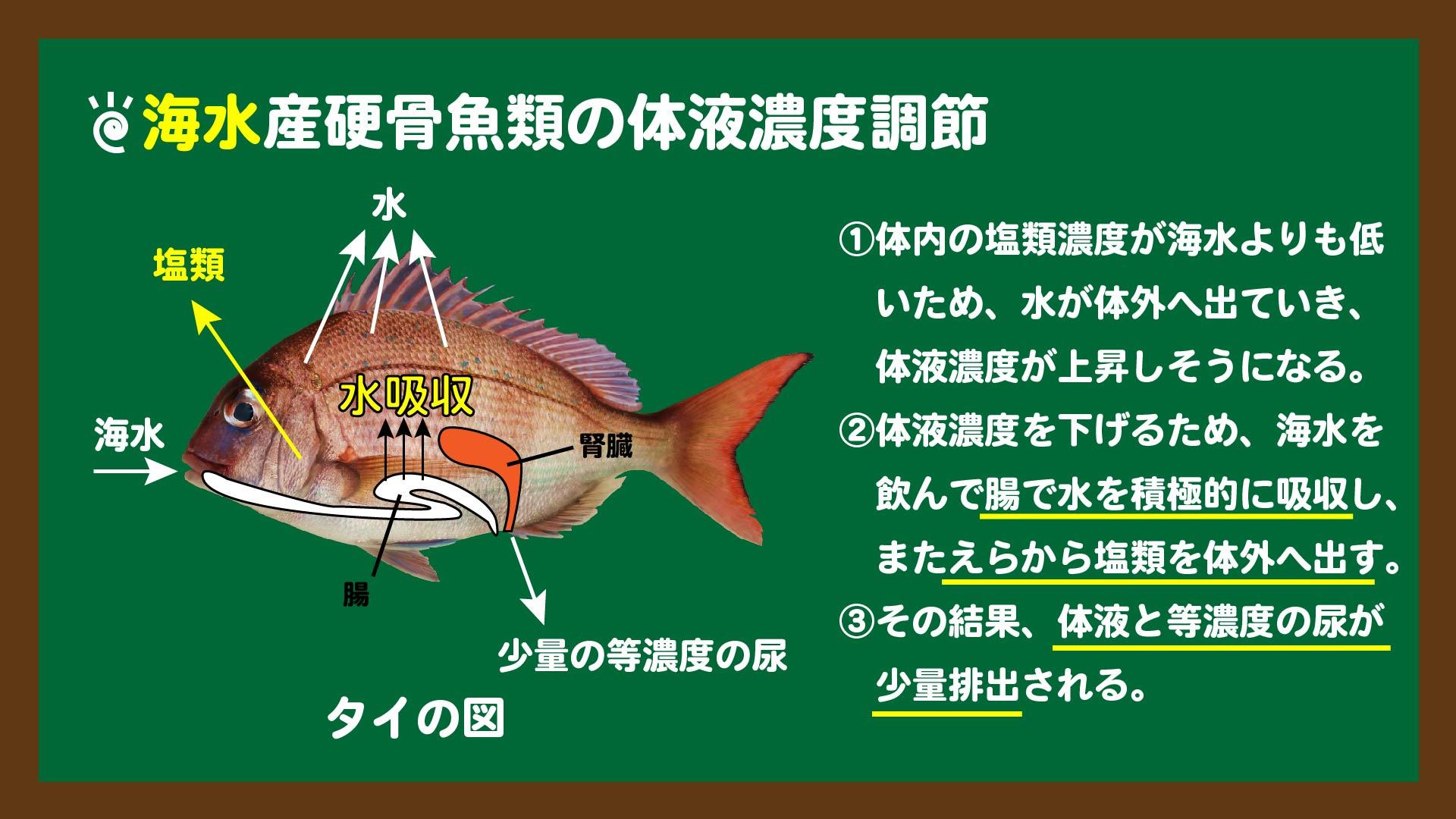 スライド2:海水魚の体液濃度調節のしくみ