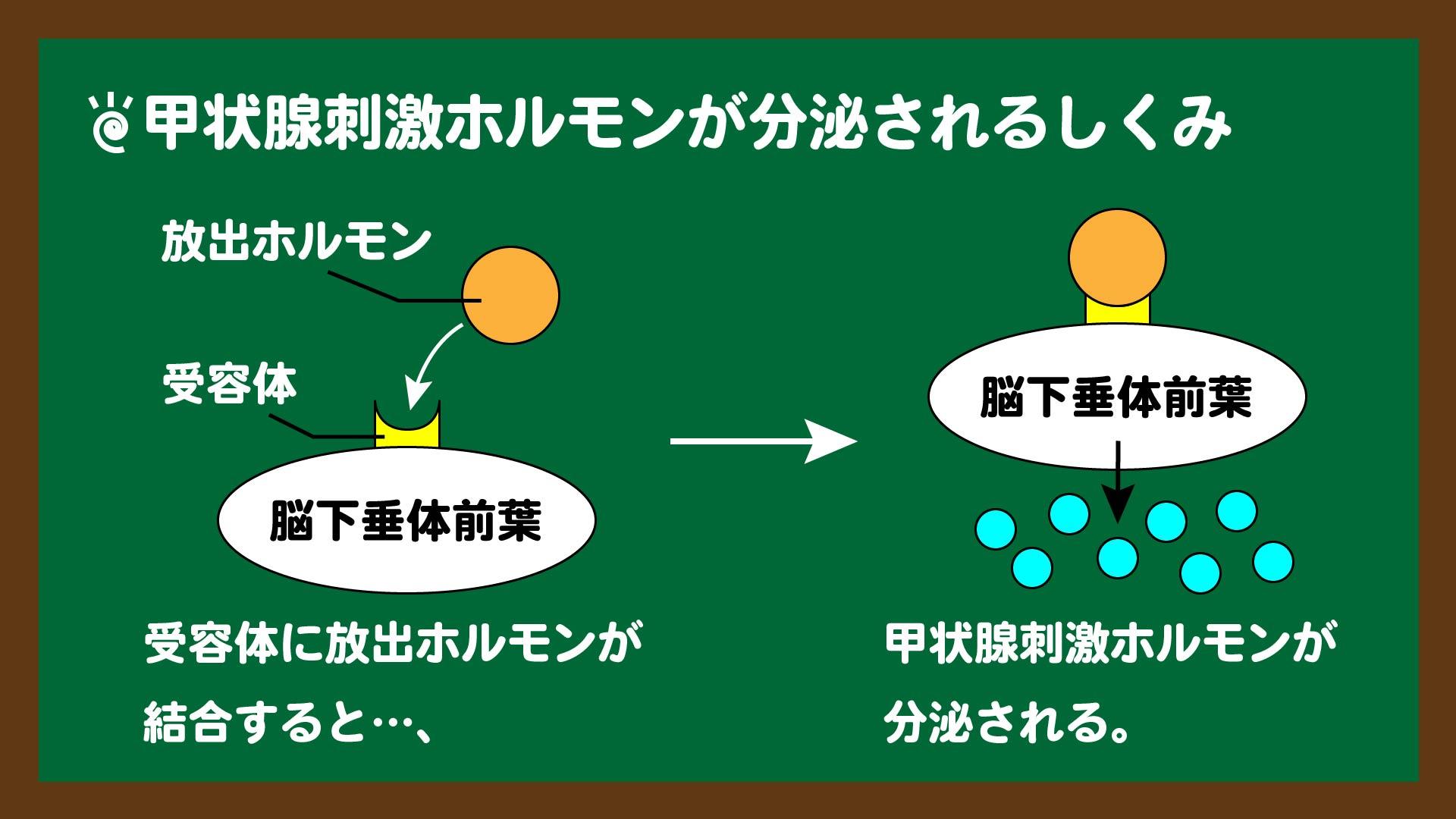 スライド4:甲状腺刺激ホルモンが分泌されるしくみ