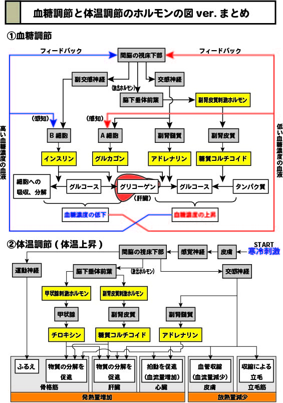 スライド1:血糖調節と体温調節のホルモンの図のまとめ