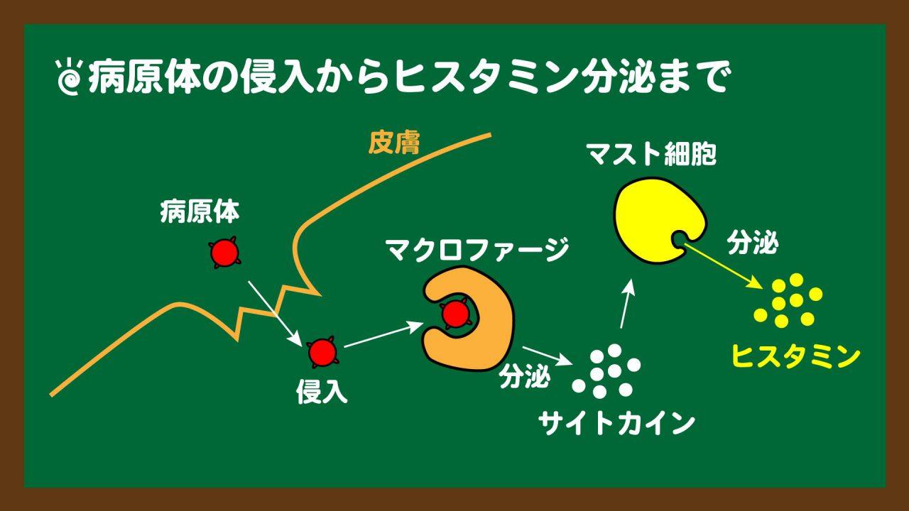 スライド6:自然免疫①_ヒスタミン分泌まで