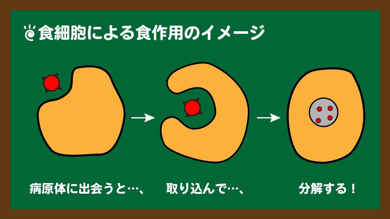 スライド5:食作用のイメージ図