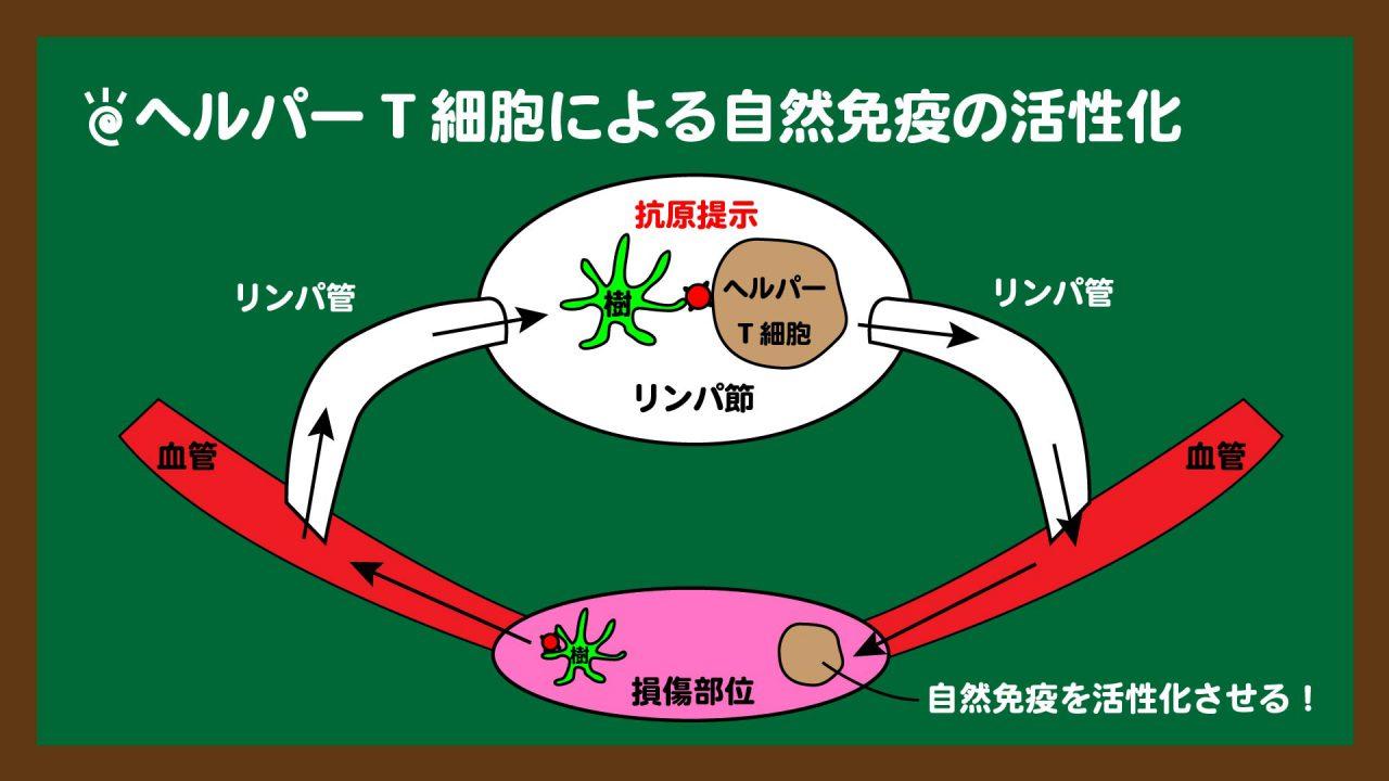 スライド10:ヘルパーT細胞は自然免疫を活性化させる