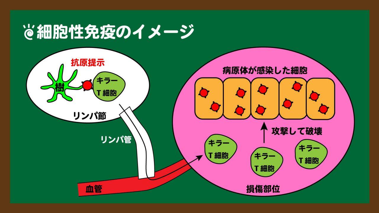 スライド12:細胞性免疫のイメージ