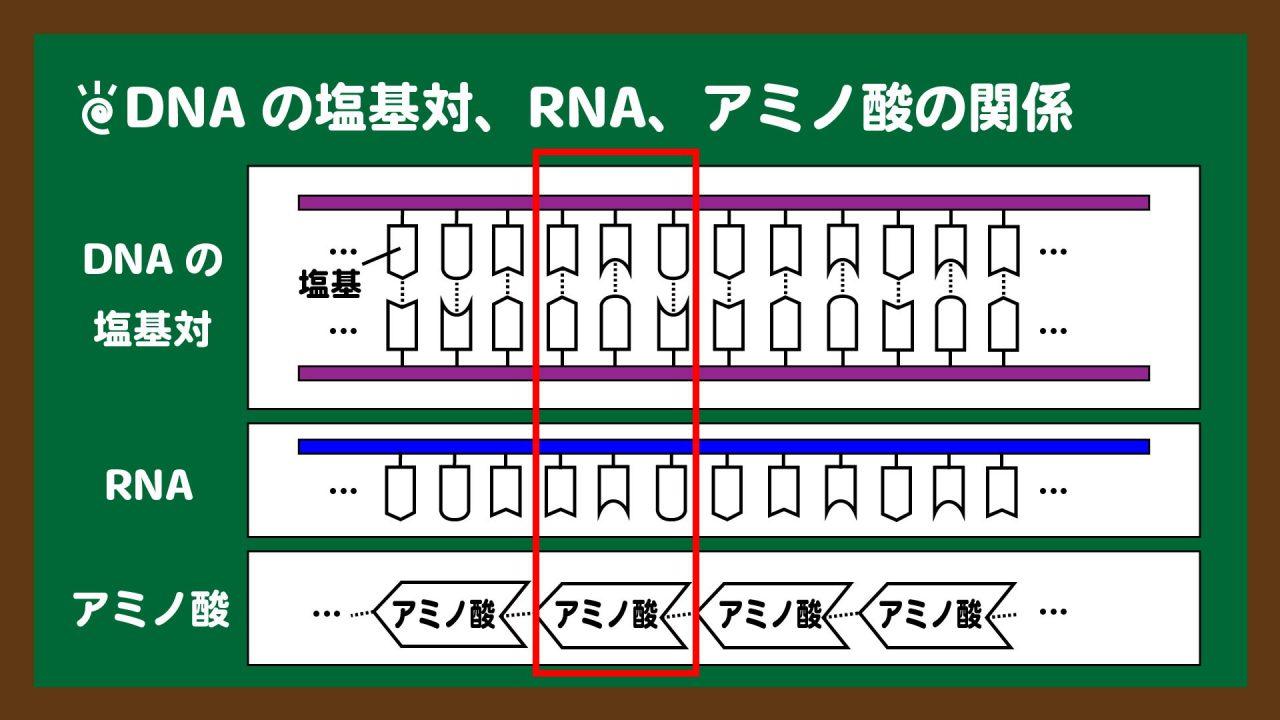 スライド12:DNAの3塩基対・RNAの3塩基につきアミノ酸1つが対応