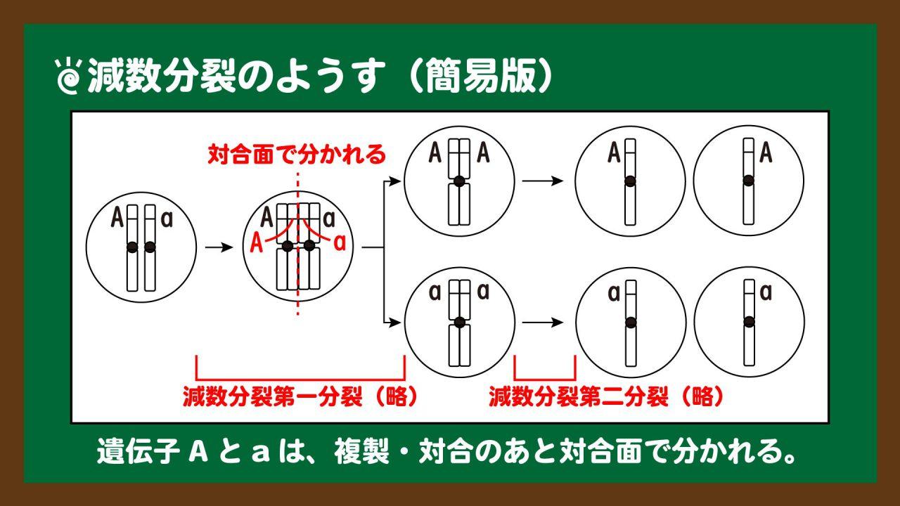 スライド3:減数分裂で遺伝子が分かれるようす(簡易図)