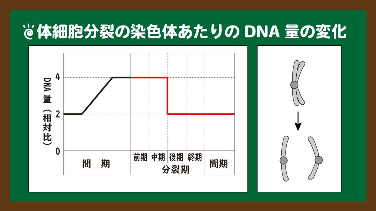 スライド10:体細胞分裂の染色体あたりのDNA量の変化