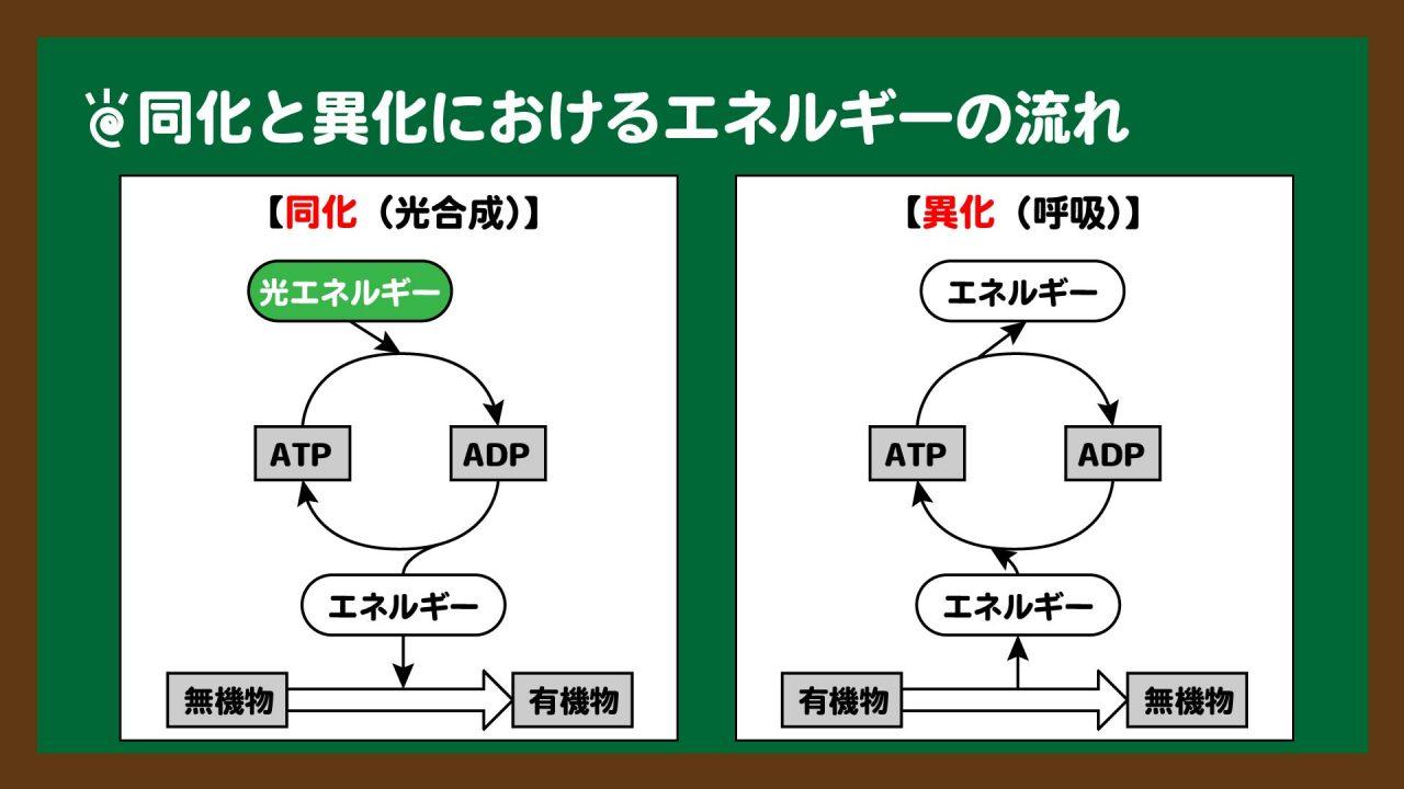 図.同化と異化におけるエネルギーの流れ